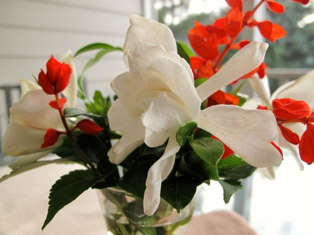 Gardenia and Red Salvia