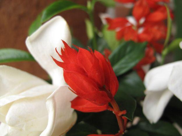 Gardenia and Red Salvia