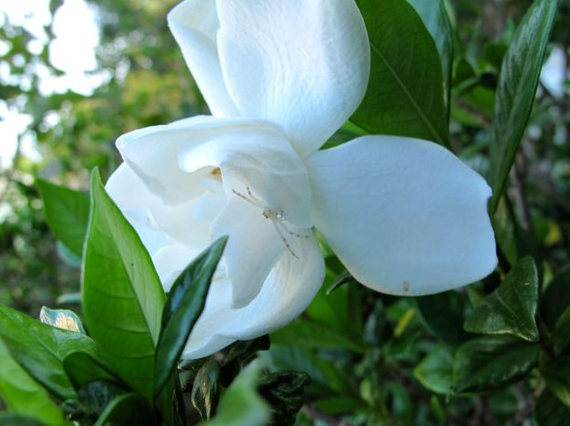 Gardenia jasminoides 'Chuck Hayes'
