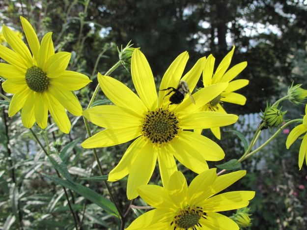 Helianthus angustifolius (Swamp Sunflower) in Western Border