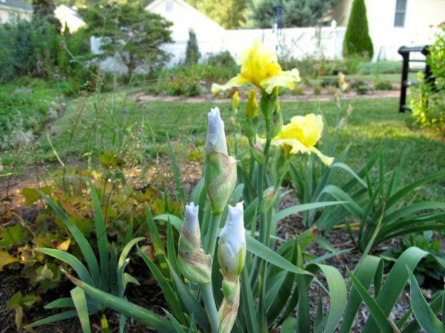 Heuchera villosa 'Big Top Bronze' (Coral Bells) and Reblooming Iris