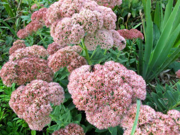 Hylotelephium telephium 'Herbstfreude' (Autumn Joy)