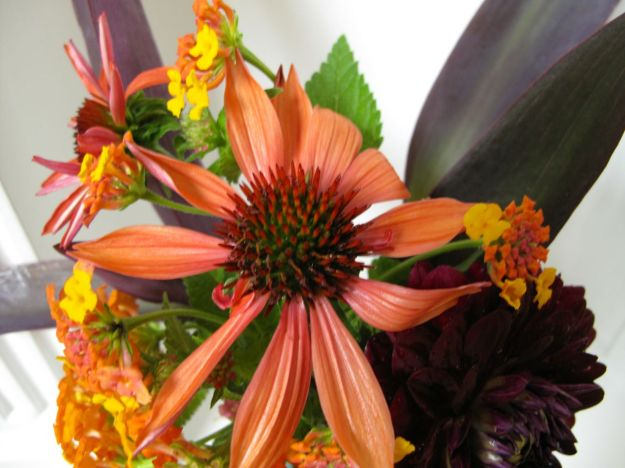 Echinacea 'Big Sky Sundown' (Hybrid Coneflower)