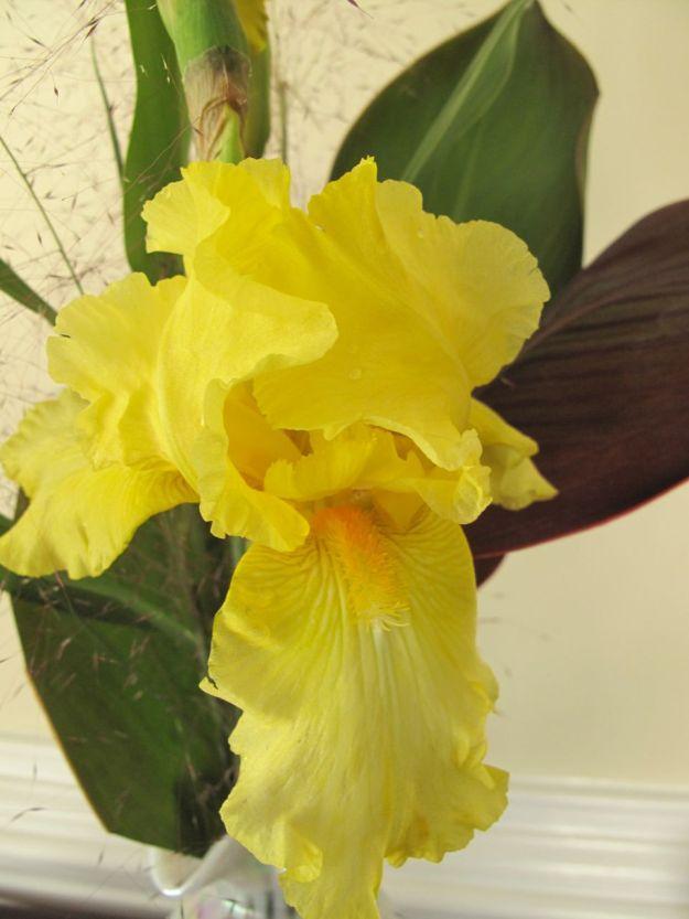 Reblooming Iris germanica
