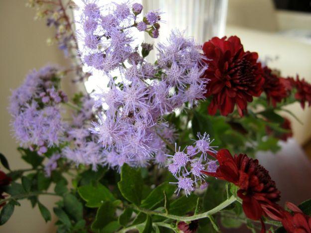 Conoclinium coelestrium (Blue Mist Flower) and Chrysanthemum