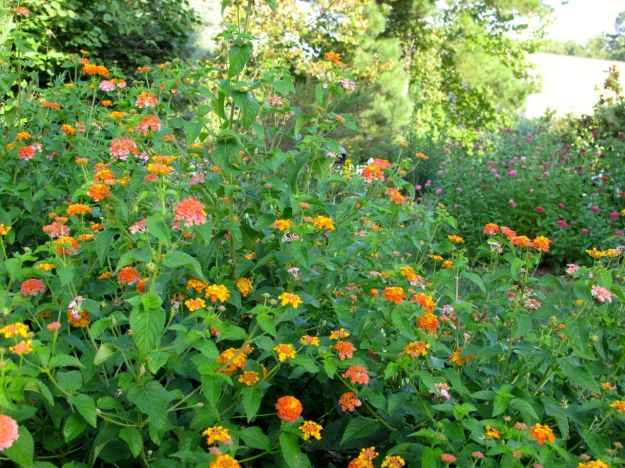 Facing west: Lantana camara (Common lantana)  in the Southern Border and Zinnia in Island Border