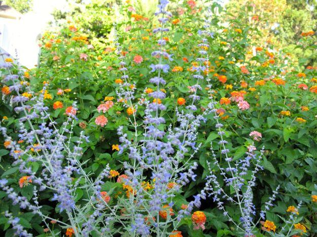 Perovskia atriplicifolia (Russian Sage) and Lantana camara (Common lantana)