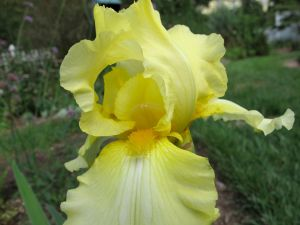 Reblooming Iris germanica (Bearded iris)