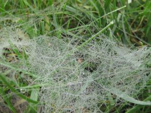 Agelenopsis sp. (Grass Spider)