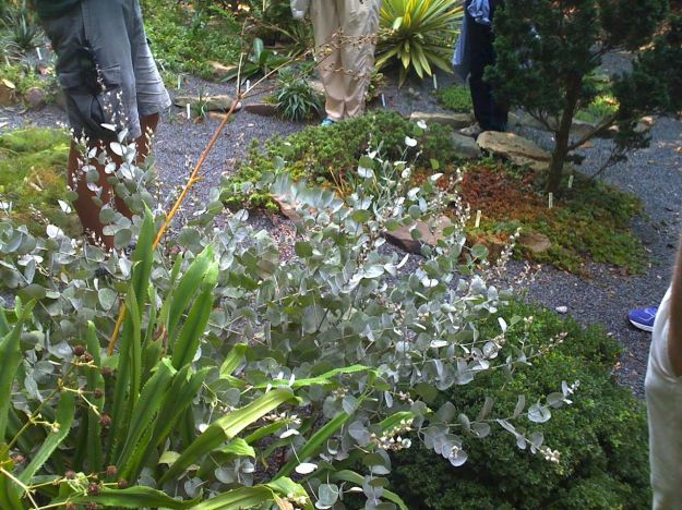 Baptisia arachnifera (Wooly Wild Indigo) - Plant Delights