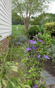 Clematis 'Jackmanii' In Southern Side Garden