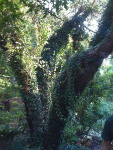 Hedera (Ivy) Vine -climbing juvenile ivy form - Plant Delights