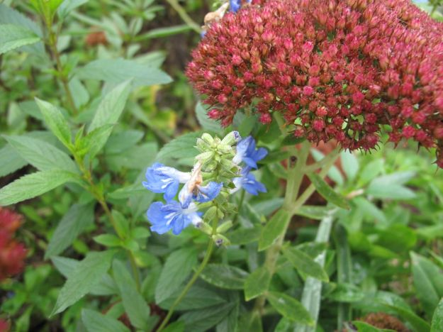 Salvia uliginosa 'Blue Sky' (Bog sage) and Hylotelephium telephium 'Herbstfreude' (Autumn Joy)
