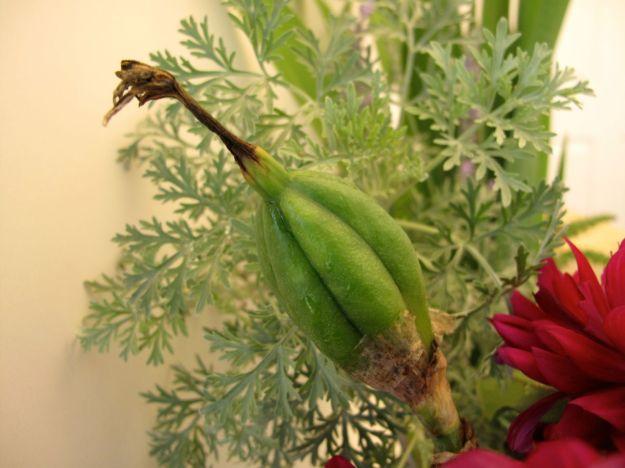 Iris Seedpod