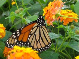 Lantana and Monarch (detail)