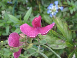 Lathyrus latifolius (Perennial Sweet Pea) seems cheerfully content.
