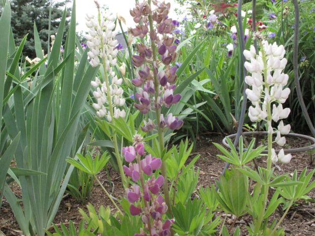 May 15, 2014  Lupinus 'Woodfield Hybrids' (Lupine)