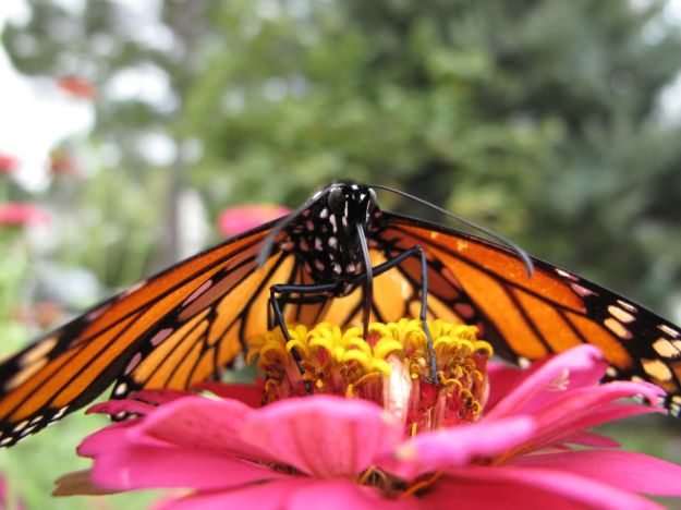 Pink Reflections On Monarch Wings