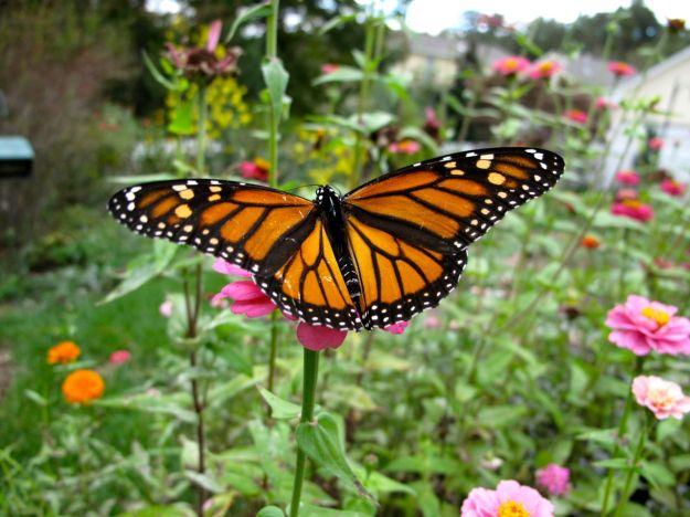 Monarch Nectaring On Zinnia