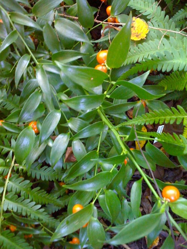 Ruscus - Plant Delights