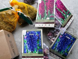 Fall 2014 Bulbs - Hyacinths and Anemones