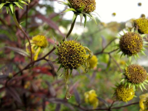 Seedheads of Helianthus angustifolius (Swamp Sunflower)