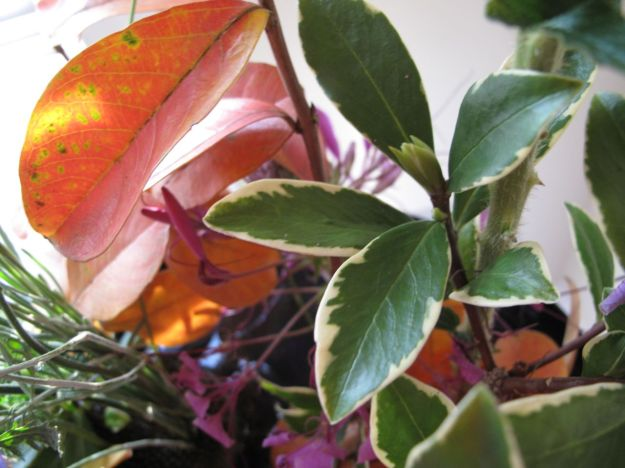 Lagerstroemia (Crape Myrtle) and Daphne odora 'Aureomarginata' (Winter daphne) Foliage