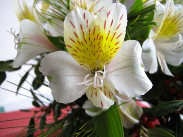 Alstroemeria (Peruvian lily), Pine, Holly-3