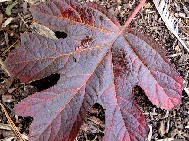 Hydrangea quercifolia 'Ruby Slippers'  (Lil' Ruby dwarf Oakleaf Hydrangea)