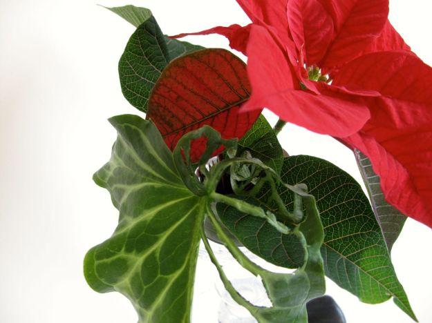 Arum and Poinsettia