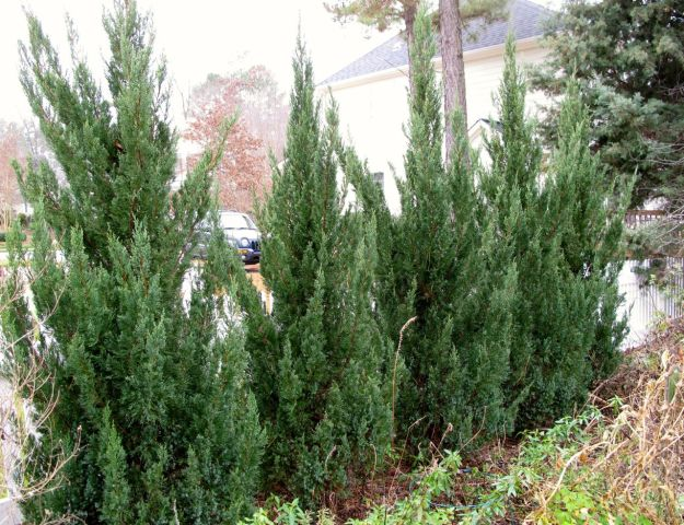 Juniperus chinensis 'Blue Point' (Blue Point Juniper)