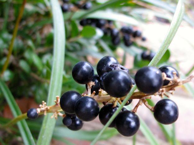 Liriope spicata (creeping lilyturf)