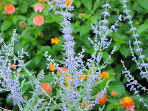 Perovskia atriplicifolia (Russian Sage) september 3, 2014