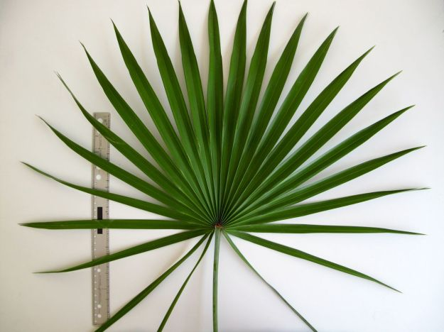 Arecaceae (Fan Palm)