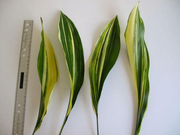 Aspidistra (Cast Iron Plant)