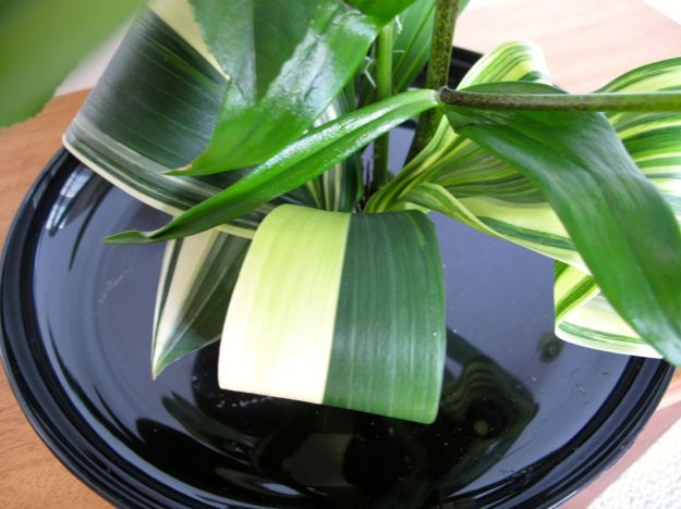 Bicolored Aspidistra was trimmed to make it narrower, then rolled and glued.