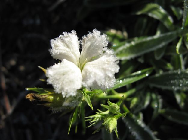 Dianthus 'Ideal Select White'