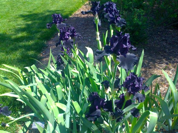 Iris 'Hello Darkness' (Bearded Iris) in The Iris Garden
