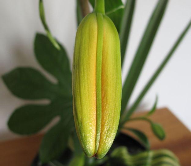 Lilium (Asiatic lily)