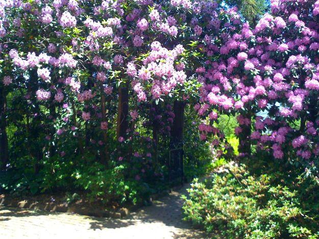 Rhododendron Wall In Victorian Garden