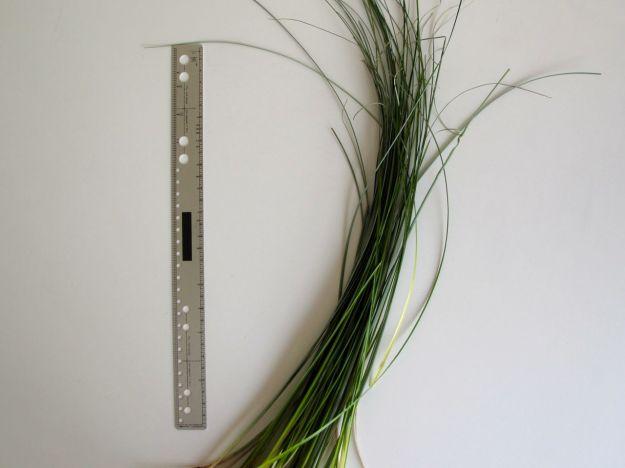 Xerophyllum tenax (Beargrass)