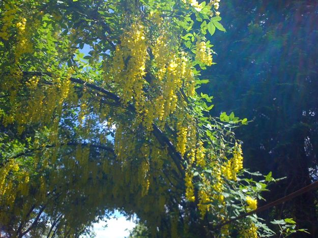 Yellow Garden. In late May an arched  tunnel is dripping with yellow Laburnum