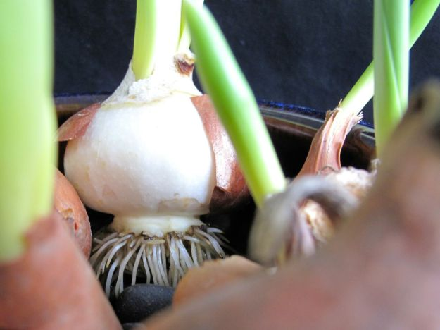 Tulip Bulbs Developed Healthy Roots