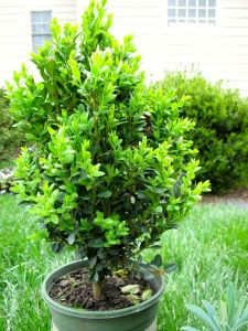 Buxus x 'Green Mountain' (Green Mountain Boxwood)