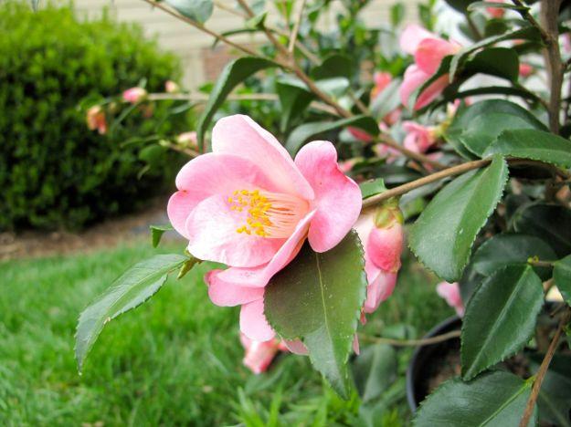 Camellia japonica hybrid 'Koto-No-Kaori'
