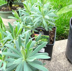 Euphorbia 'Shorty'  (Shorty Spurge)