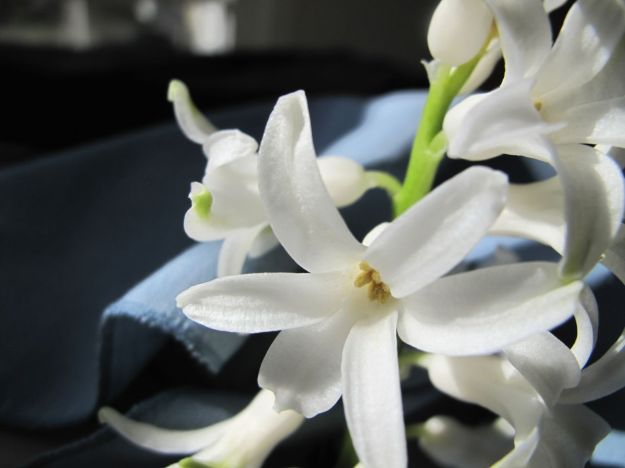 Hyacinthus orientalis (common hyacinth) - indoors