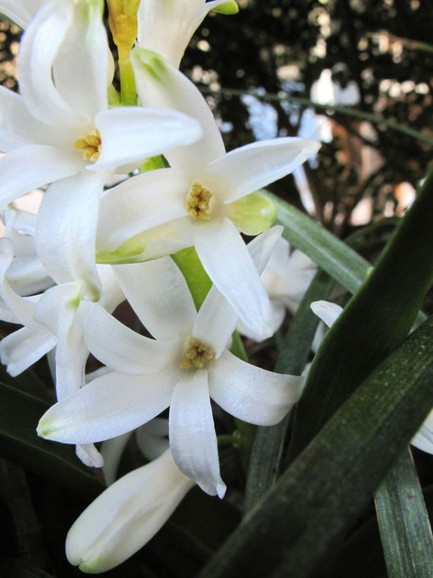 Hyacinthus orientalis (common hyacinth) fights for its place in the sun.