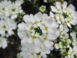 Iberis sempervirens 'Snow Cone' (Candytuft)