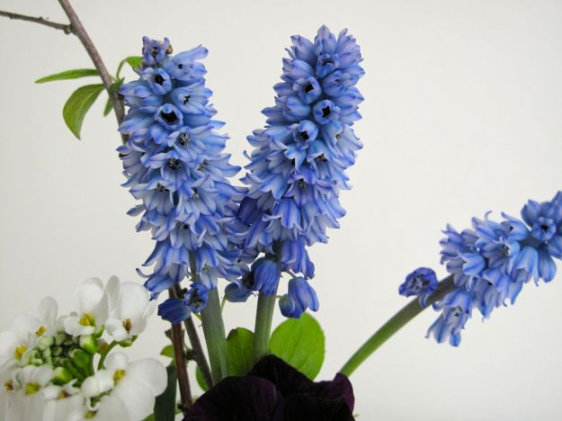 In A Vase On Monday - Pseudomuscari azureum (syn. Muscari azureum)